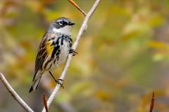 (c)WMH_2019_05_19_6389 Yellow Rumped Warbler 2.jpg (WesleyHowie) Tags: kentville wildlife yellowrumpedwarbler birds canada location warbler minersmarsh novascotia published flikr