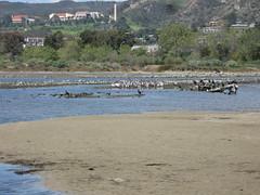 Pelican island (rasputina2) Tags: leocarillostatepark beach pelican cormorant tidepool