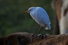 1.02105 Héron garde-boeuf / Bubulcus ibis ibis / Cattle Egret (Laval Roy off until 07/08/2019) Tags: ardéidés jalisco mexico mexique cattleegret hérongardeboeuf pélicaniformes oiseaux birds aves lavalroy bubulcusibisibis