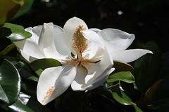Southern Magnolia (bamboosage) Tags: mamiya sekor 17 ƒ58mm m42