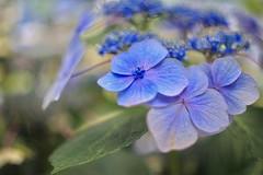 blue (maker of films) Tags: flower blue canon lens manual