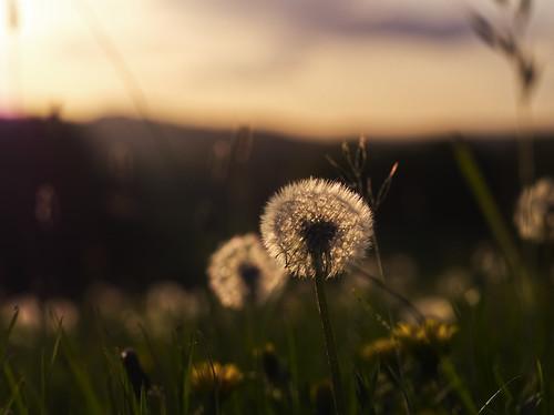 Dandelion sundown