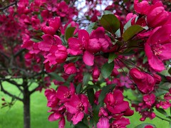 Pink blossoms (Foxy Belle) Tags: hot pink trees flowering dogwood flower blossom zone 5 yard garden spring