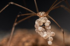 Female Cellar Spider (Pholcus phalangioides) (Chambers35th) Tags: spider spiders sp spring springwatch mother mum eggs spiderweb spiderman female macro macrophotography macrodreams macros makro waroftheworlds war worlds insects ii insect invertebrates invertebrate invert instagram nikon wildlife sigma wildlifephotography lifeintheundergrowth silk bbc bbcearth explore explored bug bugs beautiful bugslife
