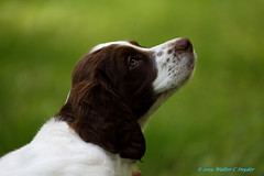 Puppy Portraiture...Chasing that Moment No 1 (Walt Snyder) Tags: canoneos5dmkiii canonef100400mmf4556l dog pet pets brittanyspaniel portrait livercolored animal brown green