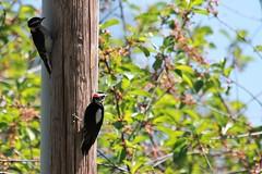 Downy Woodpeckers (hopping_jay) Tags: birds birdfeeding birdfeeders oregon southernoregon feedingbirds birdphotography nature wildlife birdwatching woodpeckers downywoodpecker picidae