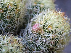 Mammillaria (Cactaceae), a pink flower among the mostly yellow ones (HandsOff) Tags: mammillaria cactaceae pink flower