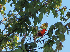 Cardinal. (dccradio) Tags: lumberton nc northcarolina robesoncounty outdoor outdoors outside nature natural bird birdwatching cardinal red animal wildlife male leaf leaves branch branches treebranch treebranches sky bluesky foliage greenery treelimb treelimbs tree canon powershot elph 520hs photooftheday photo365 project365 may tuesday evening tuesdayevening tuesdaynight