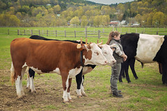 A couple of velvety steers (Boered) Tags: draftanimalday billingsfarm woodstock vermont cattle
