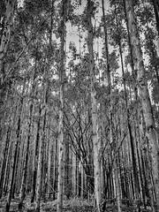 Eucalyptus Forest 2 (Enio Godoy - www.picturecumlux.com.br) Tags: mobileart silverefexpro2eucaliptus 332018agosto08running celular mobilephotography samsunggalaxy samsung cellularphone trees mobilephone phone lençoispaulistasp niksoftware forest photomobile samsunggalaxys8 mobile samsungs8 galaxys8 eucalyptus mobgrafia eucalyptusforest
