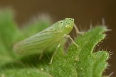 Leafhopper on a bristly Phacelia leaf (Treebeard) Tags: leafhopper cicadellidae cicadoidea auchenorrhyncha hemiptera caterpillarphacelia phaceliacicutariavarhispida boraginaceae sanmarcospass santabarbaracounty california