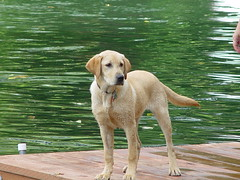 Phoebe - Southbay's Phoebe Snow (arlinescottphotography.com) Tags: arlinescottphotography phoebe snow yellow labrador retriever puppy dog swim water grass baby pretty girl good angel wings 2004 cute toe beans