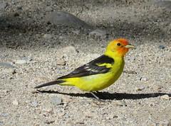 Colorful Creature (Patricia Henschen) Tags: westerntanager western tanager bird songbird sandslake statewildlifearea swa salida colorado arkansasriver