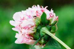 peony-8818 (kezoo) Tags: 2018 flower macro fly bug peony