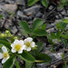 Quiz du jour: Plante commune poussant dans le gravier et ailleurs/Ubiquitous plant growing in gravel and elsewhere ... qu'est-ce/what is it ?