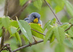 Northern Parula. (27) (Estrada77) Tags: warblers warbler northernparula small colorful wildlife spring2019 may2019 birds birding outdoors kanecounty illinois
