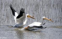 White Pelicans take flight 710 (Gillfoto) Tags: pelican bearrivermigratorybirdrefuge pelecanuserythrorhynchos whitepelican