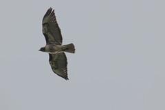 IMG_9779 (armadil) Tags: prairie ranchocorraldetierra bird birds flying hawk hawks raptor raptors rth redtailedhawk