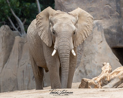 African Elephant (ToddLahman) Tags: africanelephant escondido eyelock elephants elephantvalley elephant closeup portrait photooftheday profileheadshot photography photographer beautiful nikond500 nikonphotography nikon