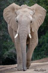 African Elephant (ToddLahman) Tags: elephants escondido eyelock elephantvalley elephant africanelephant sandiegozoosafaripark safaripark portrait photooftheday photography photographer mammal outdoors beautiful nikond500 nikonphotography nikon