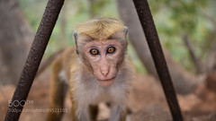 Monkey Portrait (Dr. Ernst Strasser) Tags: ifttt 500px animal eyes lanka monkey montain portrait sri travel wild wildlife ernst strasser unternehmen startups entrepreneurs unternehmertum strategie investment shareholding mergers acquisitions transaktionen fusionen unternehmenskäufe fremdfinanzierte übernahmen outsourcing unternehmenskooperationen unternehmensberater corporate finance strategic management betriebsübergabe betriebsnachfolge