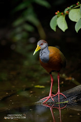 Russet-naped Wood-Rail (www.NeotropicPhotoTours.com) Tags: juancarlosvindasphotography juancarlosvindas birdphotography birding birdwatching naturephotography bird neotropicphototours costarica ecuador nature wildlife outdoors green art trees new macro orange flowers tree sky animal rainforest canongear daytime day phototour graycowledwoodrail russetnapedwoodrail