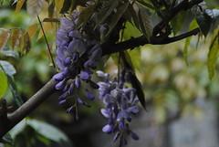 Il Glicine e La Lanterna (Elizabeth Almlie) Tags: italy toscana tuscany vignola agriturismo ilglicineelalanterna wisteria flowers