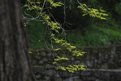 Il Glicine e La Lanterna (Elizabeth Almlie) Tags: italy toscana tuscany vignola agriturismo ilglicineelalanterna tree leaves branch