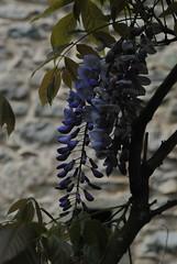 Il Glicine e La Lanterna (Elizabeth Almlie) Tags: italy toscana tuscany vignola agriturismo ilglicineelalanterna wisteria flowers stone