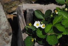 Il Glicine e La Lanterna (Elizabeth Almlie) Tags: italy toscana tuscany vignola agriturismo ilglicineelalanterna box strawberry flower white