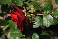 Il Glicine e La Lanterna (Elizabeth Almlie) Tags: italy toscana tuscany vignola agriturismo ilglicineelalanterna roses flowers red
