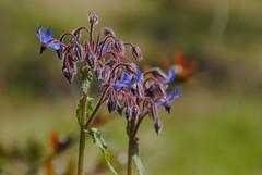 Il Glicine e La Lanterna (Elizabeth Almlie) Tags: italy toscana tuscany vignola agriturismo ilglicineelalanterna nightshade purple blue flowers