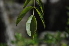 Il Glicine e La Lanterna (Elizabeth Almlie) Tags: italy toscana tuscany vignola agriturismo ilglicineelalanterna branch leaves