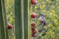 Phoenix, AZ: Cactus Wren on Cactus 6564 (donna lynn) Tags: 2019 may nature phoenix arizona nikon d850 outdoors desertbotanicalgarden wrens cactuswren feeding eating campylorhynchusbrunneicapillus orderpasseriformes familytroglodytidae
