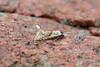 Cochylimorpha straminea, Burntisland, Fife, Scotland