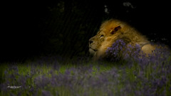 Resting in the Bluebells (Through-my-eyes.) Tags: bluebell bluebells lion male feline mane resting animal cat bigcat majestic proud field blue