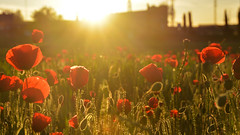 Sunrise Red Pollution #2 (ruben garrido lopez) Tags: amanecer sunrise madrid sansebastiandelosreyes flower flores amapola puppy red redpollution spring primavera nikon nikond5200