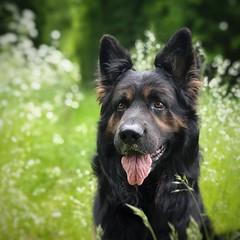 Aras (Jaco Verheul) Tags: gsd ogsd germanshepherd dog chien cane perro altdeuterschäferhund oudduitseherder duitseherder hond hund