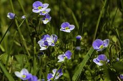 Small but so beautiful (Kat-i) Tags: veronicachamaedrys ehrenpreis blume flower nature natur outside blau blue makro macro nikon1v1 kati katharina 2019