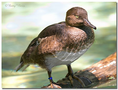 Tufted Duck (Betty Vlasiu) Tags: tufted duck aythya fuligula bird nature wildlife potomac river washingtondc