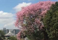 Second wind  .  .  . (ericrstoner) Tags: ceibaspeciosa ceiba silkflosstree malvaceae metropolitancathedral catedralmetropolitano cathedral catedral brasília distritofederal