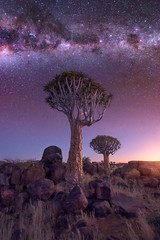 Quiver Forest under the Starry Sky, Keetmanshoop, Namibia (ansharphoto) Tags: africa african aloe arid bark beautiful black blue branches bush darkness dawn desert dichotoma dry forest granite grass green keetmanshoop landscape light lights milky morning namib namibia natural nature nebula night nightfall plant quiver rock sky south southern stars stone tranquil travel tree twilight unusual view way wild wilderness wood