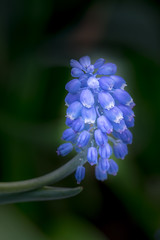 Bleue (JacLine Hein) Tags: nikon macro fleur bleu