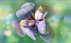 Iris flower. (augustynbatko) Tags: flower iris macro nature garden may pastel petals