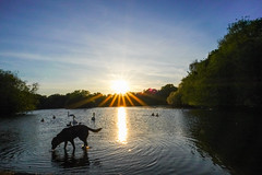 Doggone sun (Paul Wrights Reserved) Tags: sun sunlight sunset sunburst sunsets sunrays sunstars dog dogs pet pets swan swans duck ducks geese goose silhouette silhouettes reflection reflections reflectionphotography landscape landscapes landscapephotography sky skyscape skyscapes composition f16 colour colours vibrant tree trees animal animals