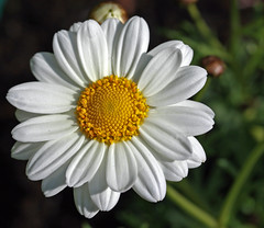 Marvellous Marguerite (yamahagarn) Tags: northernireland belfast mygarden marguerite platinumheartaward