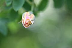 Rose (Magreen2) Tags: rose flower garden light bokeh spring blume licht sonne frühling