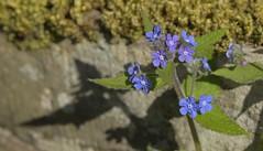 Alkanet (Tony Tooth) Tags: nikon d600 nikkor 105mm blue blueflower flower wildflower alkanet greenalkanet pentaglottissempervirens ecton staffs staffordshire
