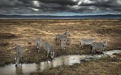 NgoroNgoro. Tanzania (juanjo_rueda) Tags: ngorongoro nature zebras africa clouds landscape safari