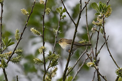 Willow Warbler 2019-05-11_01 (Jan Thomas Landgren) Tags: trönningeängar halland wildlife wetland wetlands sweden sverige aves animal animals avifauna birds bird djur fåglar fågel fauna nature natur nikon nikond500 tamron tamron150600mm outdoor outdoors willowwarbler warbler phylloscopus phylloscopustrochilus lövsångare sångare